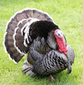 Turkey / Boston Thanksgiving - www.boston-discovery-guide.com