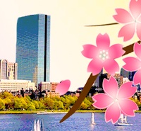 Cherry blossoms - Boston Esplanade - Boston-Japan Cherry Blossom Festival