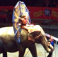 Photo of elephant rider - Boston's Ringling Bros Circus - Photo courtesy of Yvonne E