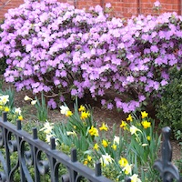 Photo of azalea and daffodils in bloom in front garden on Commonwealth Ave in Boston MA