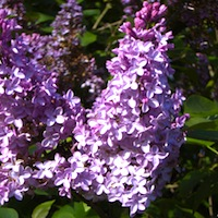 Lilac Sunday in Boston