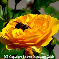 Rose in Boston's Victory Gardens