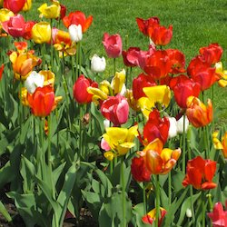 Tulips in Boston Public Garden