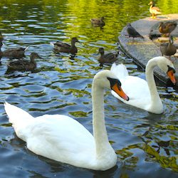 Swans in Boston Public Garden