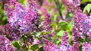 Lilac Sunday in Boston - Mother's Day events