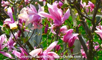 Magnolias blooming in Mt Auburn Cemetery in May