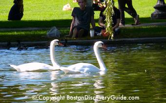 Boston park plaza hotel swans in the public garden 39 s lagoon - Hotels near boston public garden ...