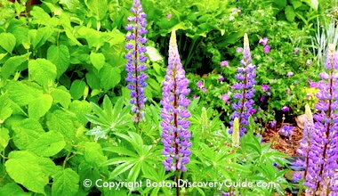 Lupines in a Cambridge garden