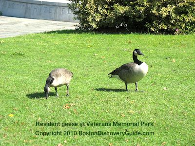 Resident geese near Veterans War Memorial in Boston, site of Memorial Day services