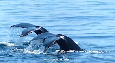Boston Whale Watch Trip - Humpback Whale