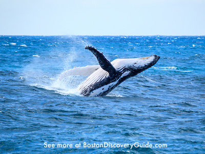 Whale watching cruises from Boston