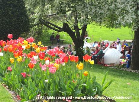 Tulips in bloom in Boston's Public Garden