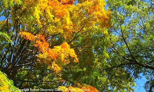 Boston fall foliage is splendid in the Arnold Arboretum
