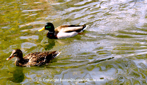 Photo of male and female mallard ducks in the lagoon in Boston's Public Garden