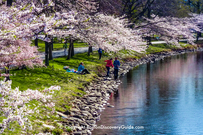 Cherry trees in bloom along the Esplanade