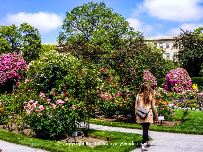 Roses in bloom in Boston's Kelleher Rose Garden