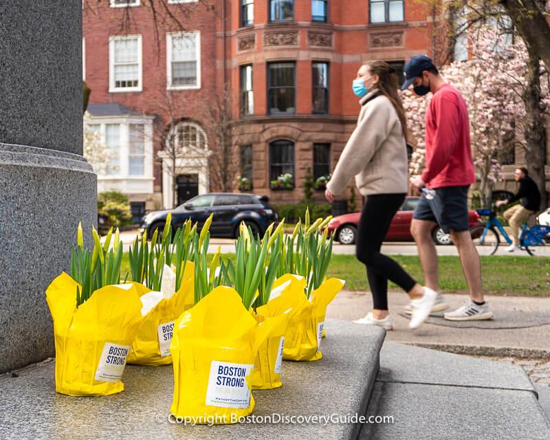 Marathon Daffodils on Commonwealth Avenue Mall in Back Bay