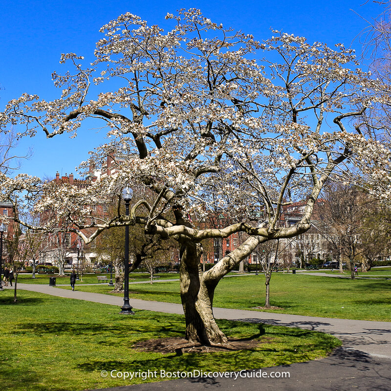 Cherry tree blooming during the 2nd week of April in Boston's Public Garden
