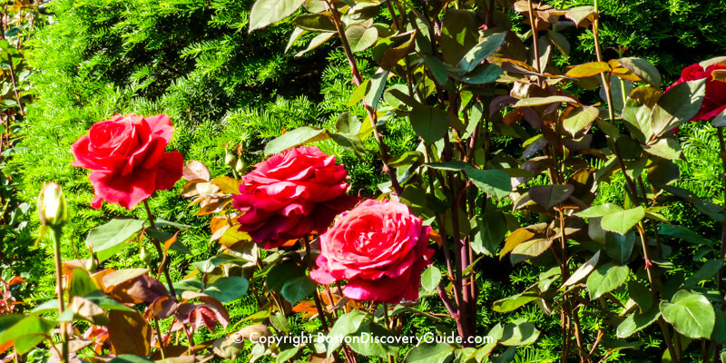 Roses in bloom on Memorial Day weekend in Boston's Public Garden