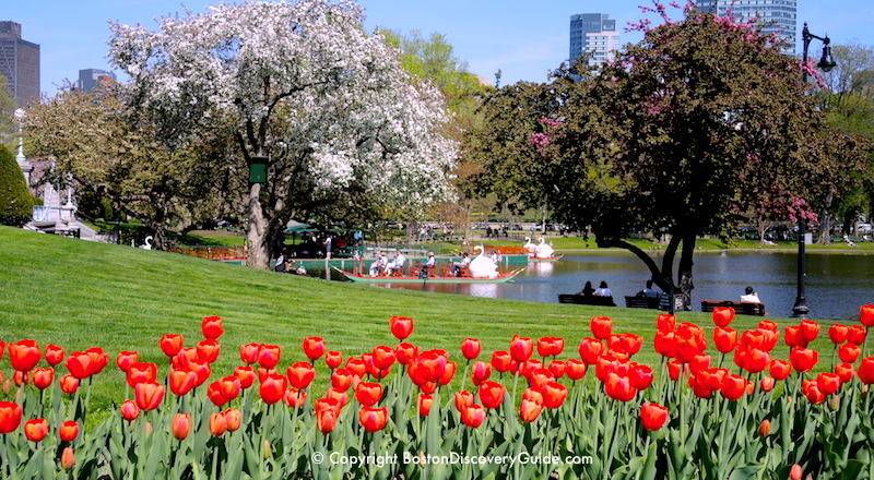 Tulips and flowering trees in Boston's Public Garden on Mother's Day Weekend