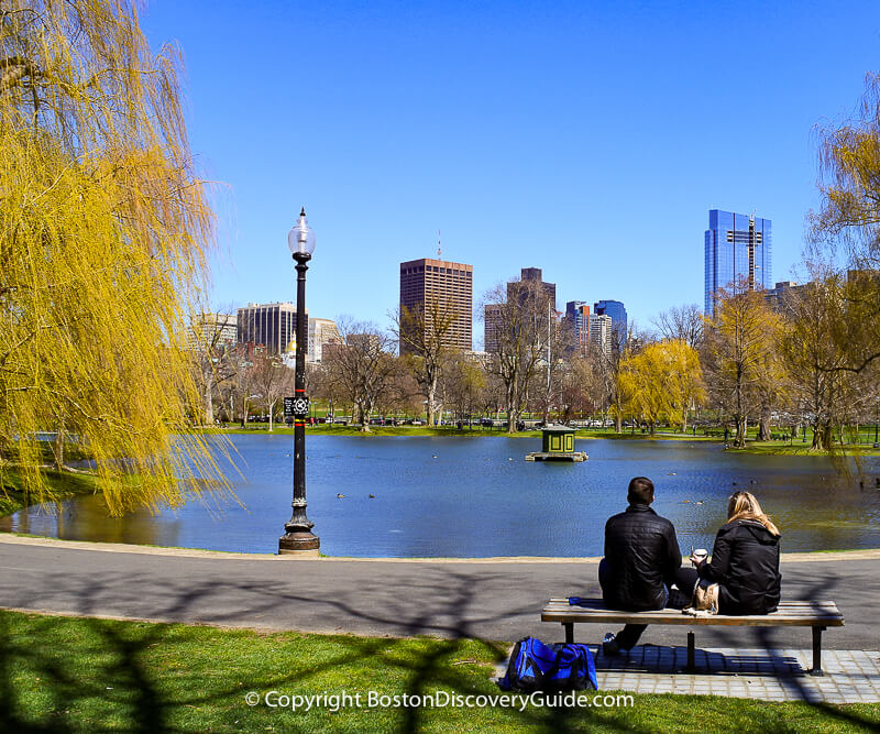 Golden weeping willows in Boston's Public Garden in early April