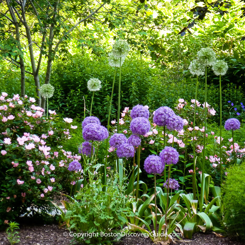 Purple alliums and other spring flowers blooming in May along an edge of the Greenway near Dewey Square