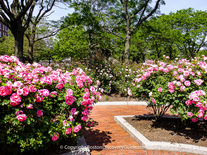 Striped heritage roses blooming in the Rose Kennedy Memorial Garden on Memorial Day weekend