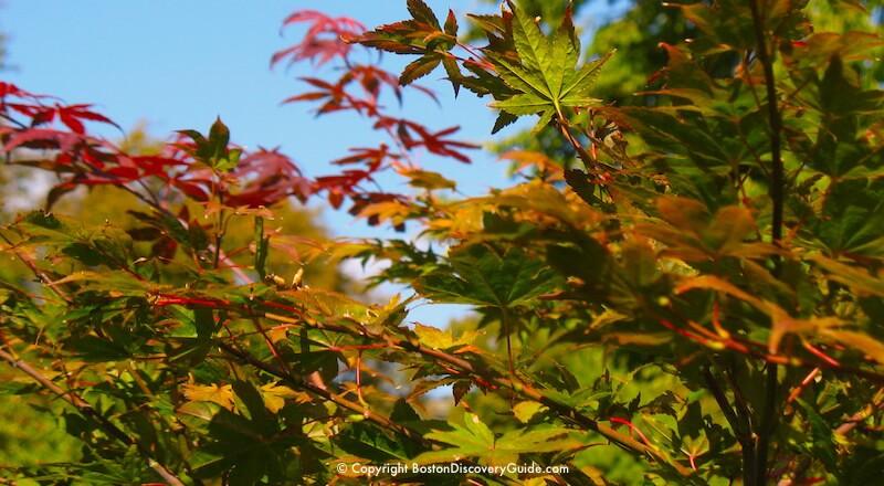 Crimson leaves in the Victory Gardens in Boston's Back Bay Fens