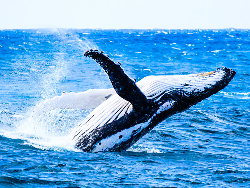 Lookfor breaching whales during your cruise - always a special sight!
