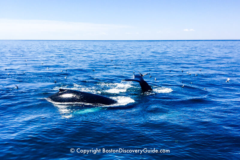 Whales breaching in Stellwagen Bank National Marine Sanctuary