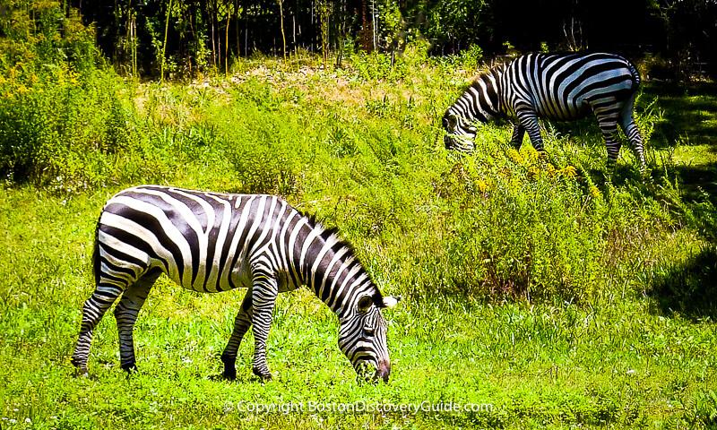 Zebras grazing at Boston's Franklin Park Zoo