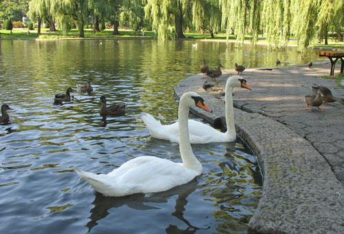 Photo of swans in Boston's Public Garden