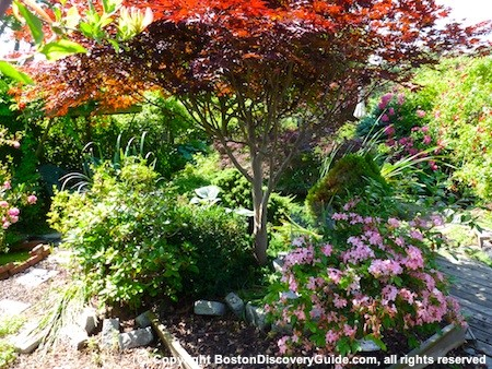 Red Japanese Maple tree in Boston's Victory Gardens