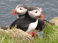 Atlantic Puffins, photographed in Iceland - photo courtesy of Aconcagua / Cruises from Boston to Europe - www.boston-discovery-guide.com