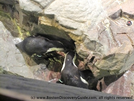 Photo of penguins feeding at New England Aquarium in Boston