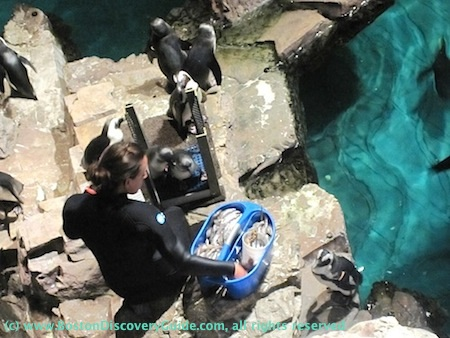 Staff member feeding penguins at Boston Aquarium