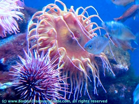 A Sea Urchin and a sea anemone at the New England Aquarium