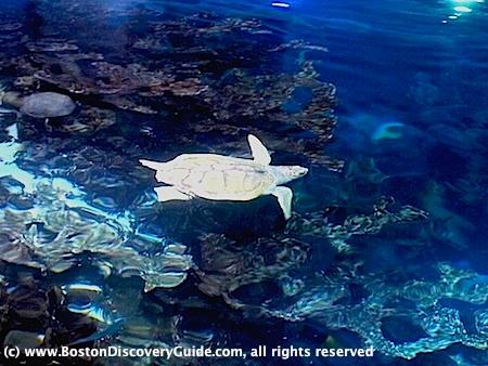 A Swimming sea Turtle at New england Aquarium in Boston