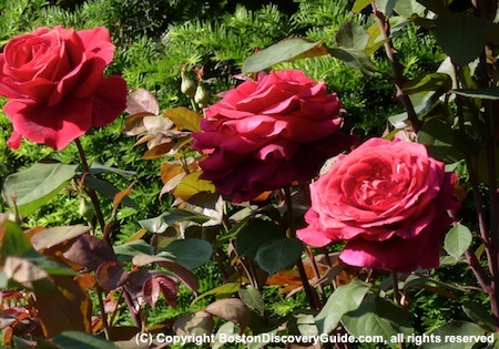 Red roses in the Public Garden, Boston, MA