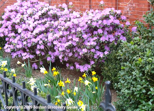 Azaleas and daffodils blooming in Back Bay, Boston - April 22