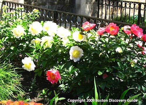 Early single peonies in bloom in Boston's Back Bay neighborhood - May 25