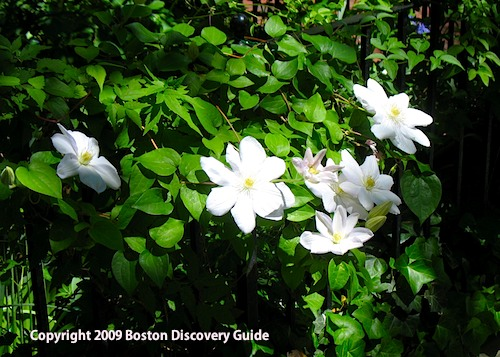 Clematis in bloom in Boston's Back Bay neighborhood - May 25