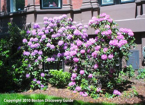 Rhododendrons blooming in Boston's Back Bay - May 25