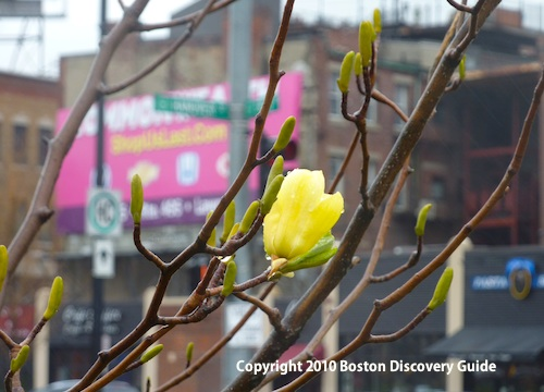 Buds on yellow magnolia tree on the Rose Kennedy Greenway across from Boston's North End neighborhood - April 9
