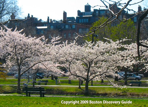 Cherry trees in full bloom on Boston's Esplanade - Back Bay brownstones in the background - April 25