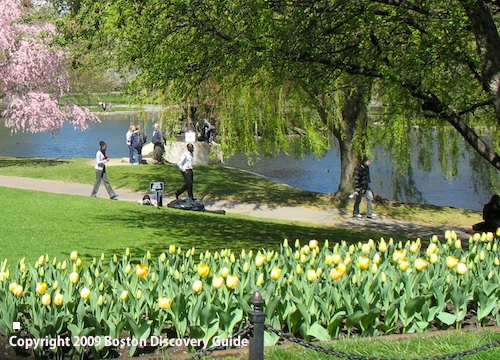 Yellow tulips blooming in Boston's Public Garden - April 10