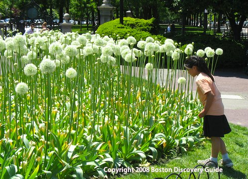 Giant alliums blooming in Boston's Public Garden - May 25