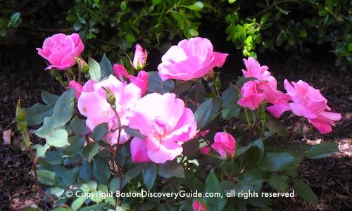 Roses in Boston's Public Garden - May 25