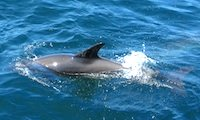 Photo of dolphin at Swellwagen Bank National Marine Sanctuary /  www.boston-discovery-guide.com