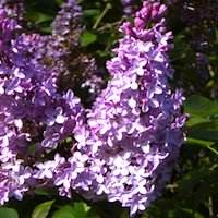 Lilac Sunday at Arnold Arboretum
